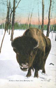 Buffalo at River Park